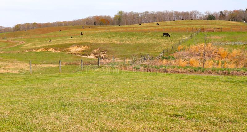 Cattle Graze on Spring`s Newly Green Grass on Rolling Hills stock images
