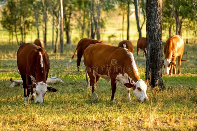 Cattle grazing stock photo