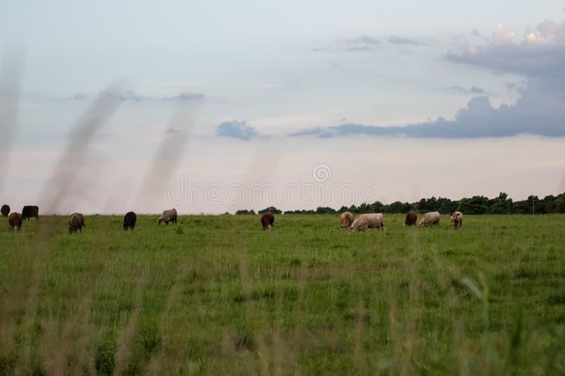 Cattle grazing in distance shot through grass. Crossbred beef cattle grazing in the distance with out -of-focus tall grass in the foreground and room for copy stock photography