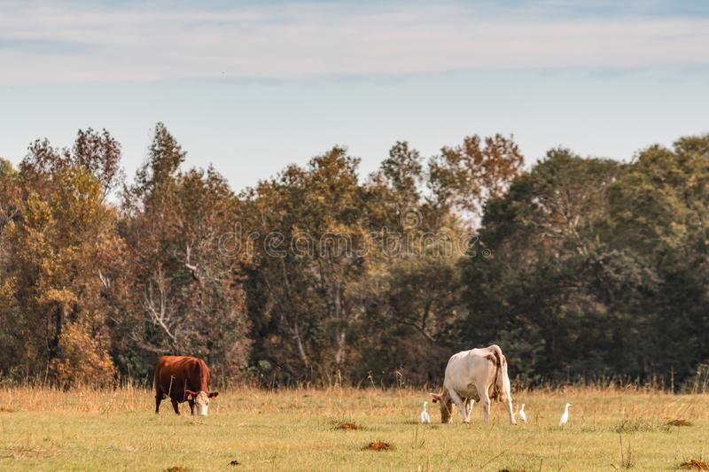 Cattle grazing in fall pasture royalty free stock photography
