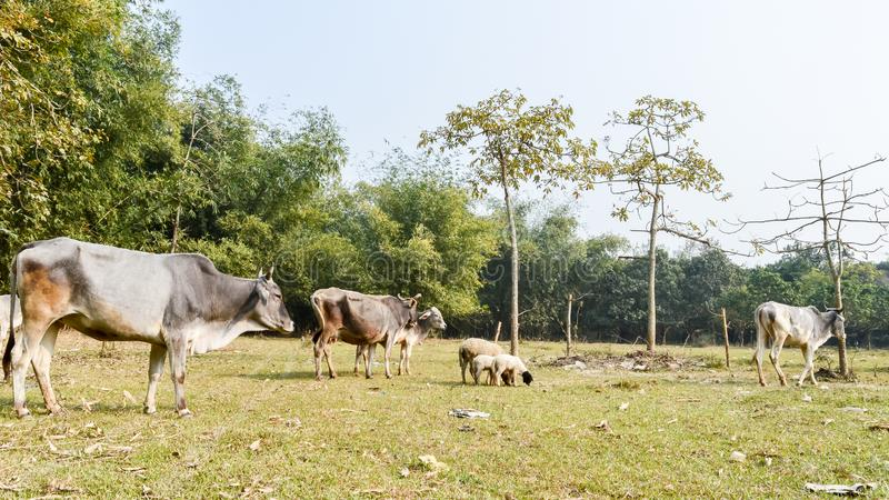 Cattle grazing in field. A typical dairy farm land in rural Bengal, North East India depicting simple rural life. An Village View stock images
