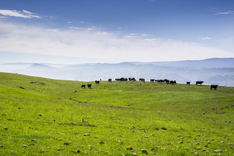 Cattle grazing in the hills of south San Francisco bay, San Jose, California royalty free stock photography