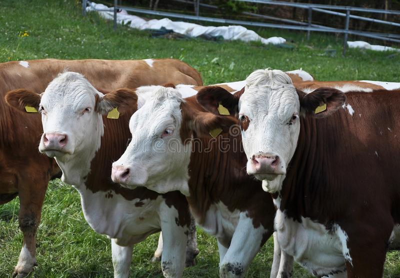 Cattle at grazing land stock photo