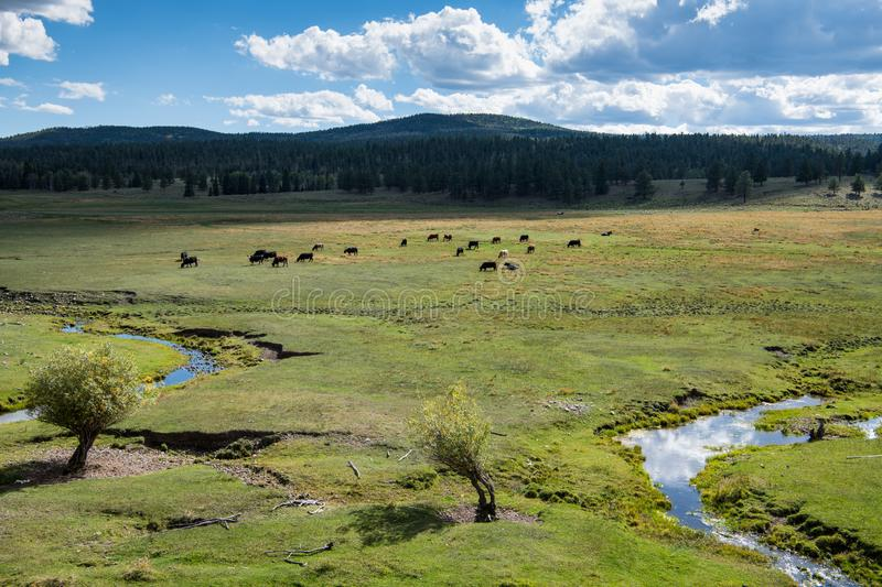 Cattle grazing on lush green grass on a ranch in northern New Mexico. A green pasture with a stream winding through it and a herd of cattle on a ranch in New stock images