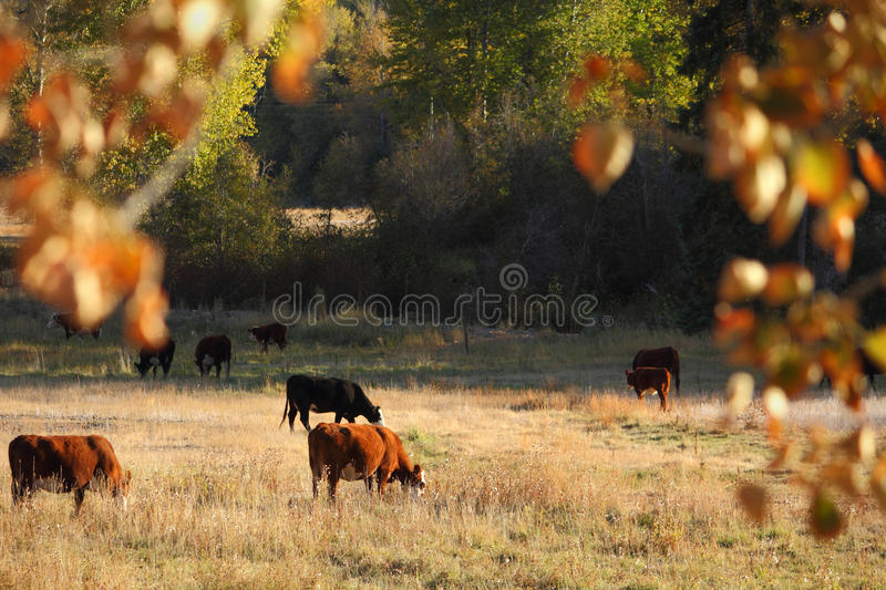 Cattle Grazing, Merritt, British Columbia. Beef cattle graze in a pasture in the Nicola Valley near Merritt, British Columbia, Canada royalty free stock images