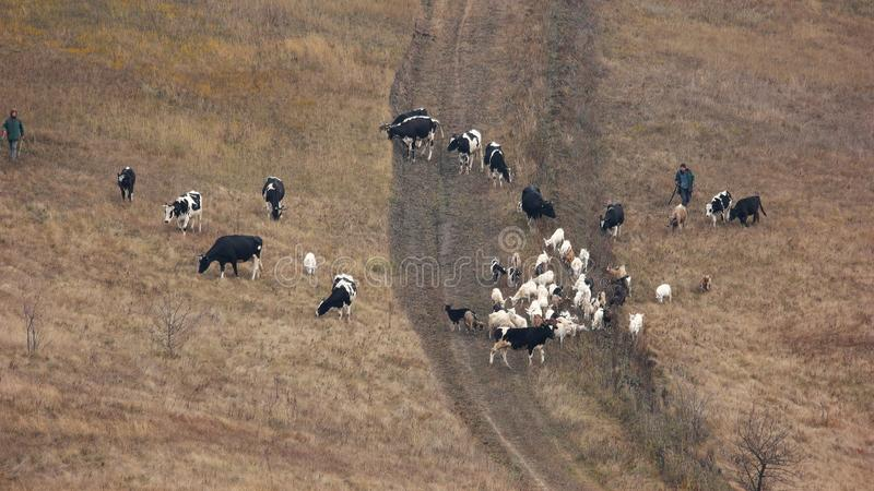 Cattle grazing on pasture, view from above. stock photos