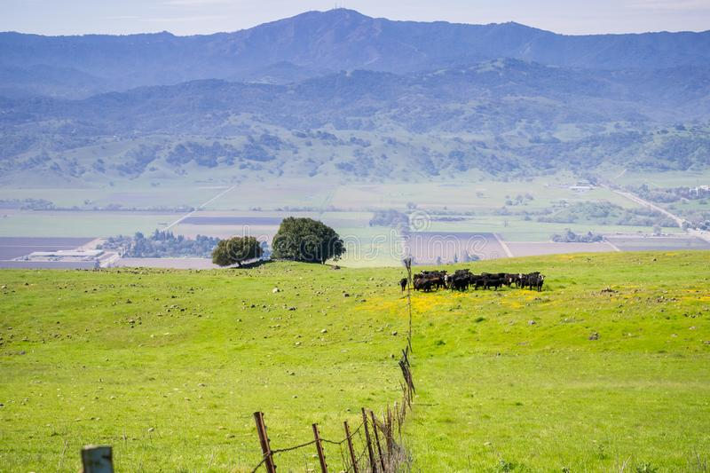 Cattle grazing; View towards the valley and the Loma Prieta peak from the hills of Coyote Ridge, San Jose, south San Francisco bay. California royalty free stock photos