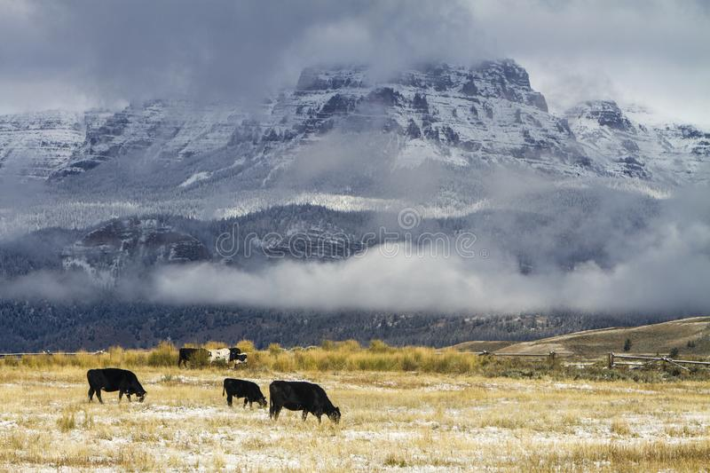 Cattle grazing in Wyoming field with snow royalty free stock photo
