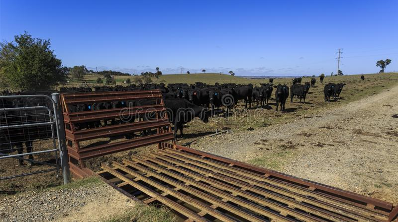 Cattle Grid in Use in a Cattle Property. View of a cattle grid, known as a stock grid, to prevent livestock from passing openings along a road in a cattle stock image