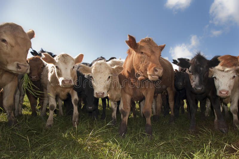 Cattle herd royalty free stock image