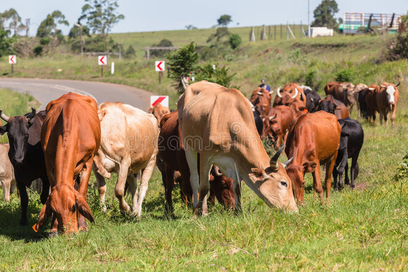 Cattle Herd Animals royalty free stock photography