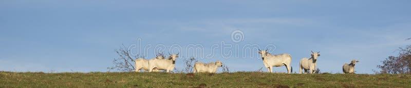 Cattle herd on the farm stock photos
