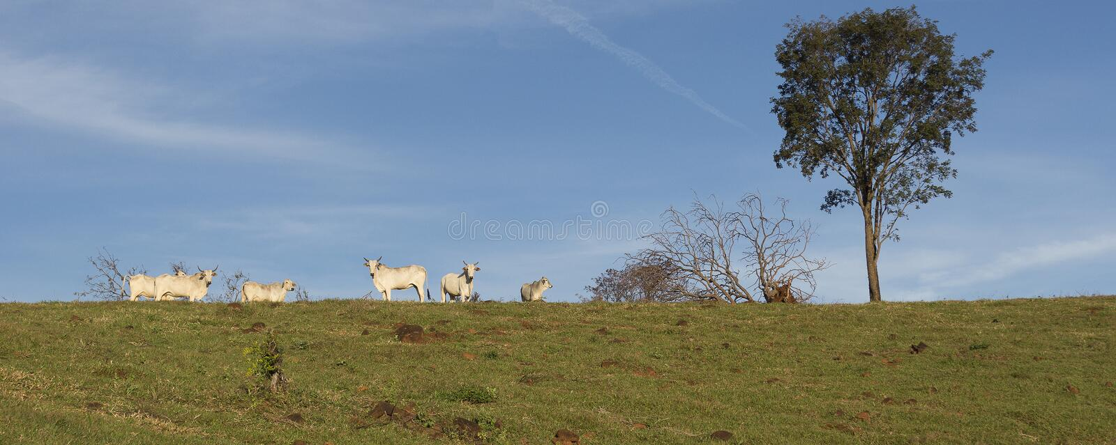 Cattle herd on the farm stock image