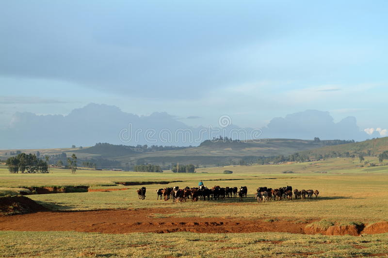 Cattle herd on the meadow royalty free stock photo