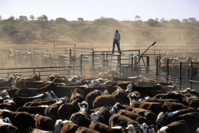 cattle hereford royaltyfria bilder