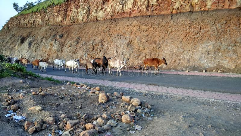 Cattle on Indian road. Cattle are on Indian road, moving on road, not safe for animals and also for traffic,  cause traffic jam , unsafe driving stock images