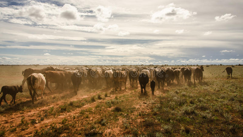 Cattle landscape royalty free stock image