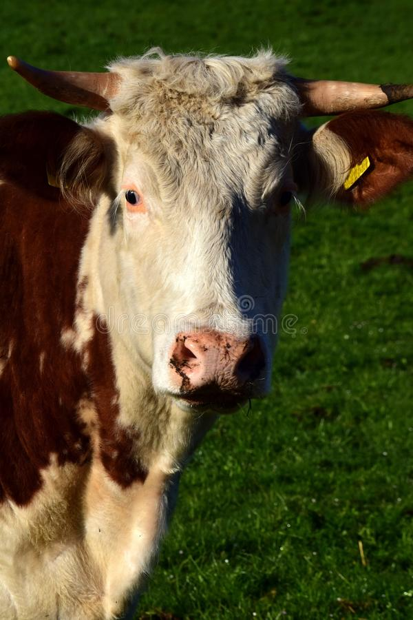 Cattle Like Mammal, Dairy Cow, Horn, Pasture stock images