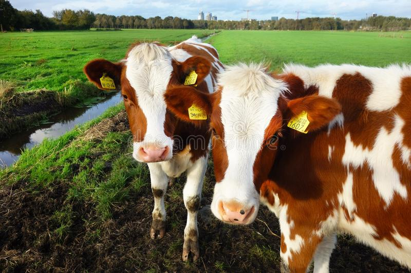 Cattle Like Mammal, Dairy Cow, Pasture, Cow Goat Family stock image