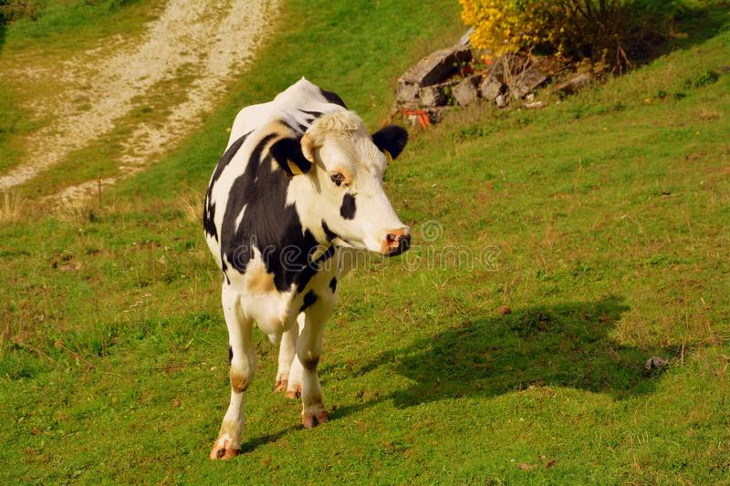 Cattle Like Mammal, Dairy Cow, Pasture, Grassland royalty free stock photos