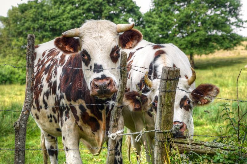 Cattle Like Mammal, Dairy Cow, Pasture, Grazing stock images