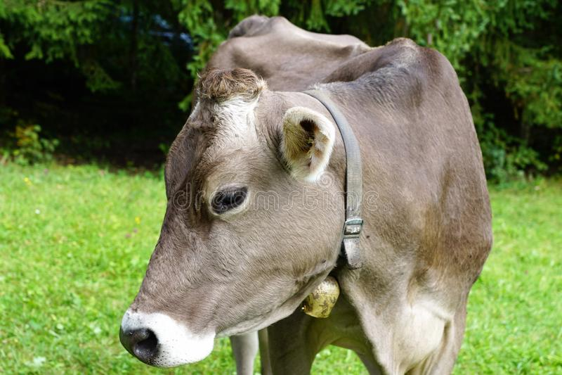 Cattle Like Mammal, Fauna, Dairy Cow, Pasture royalty free stock image