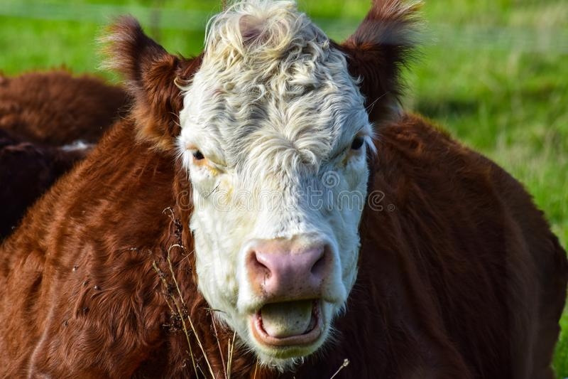 Cattle Like Mammal, Fauna, Horn, Cow Goat Family stock image