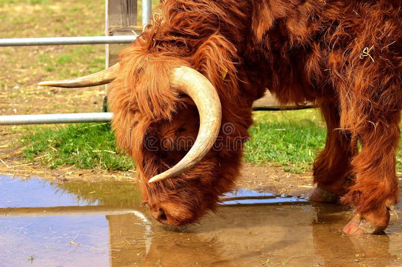 Cattle Like Mammal, Fauna, Horn, Wildlife royalty free stock photo