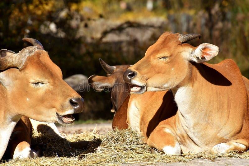 Cattle Like Mammal, Fauna, Wildlife, Terrestrial Animal stock photo