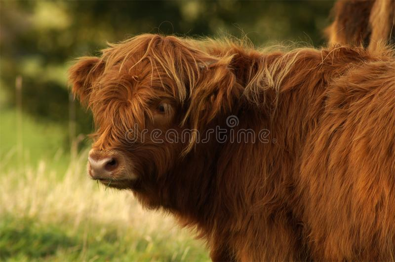 Cattle Like Mammal, Highland, Grazing, Horn royalty free stock photos
