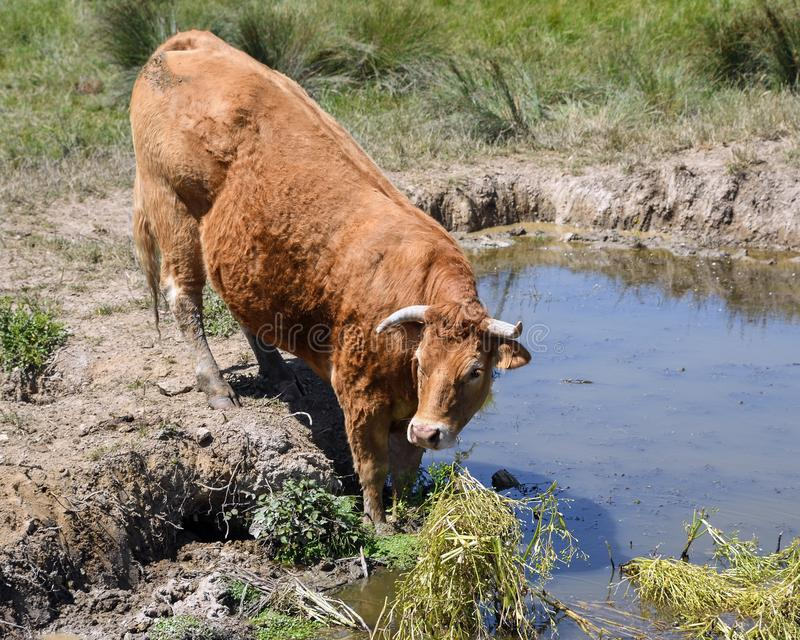 Cattle Like Mammal, Highland, Wildlife, Pasture stock photography