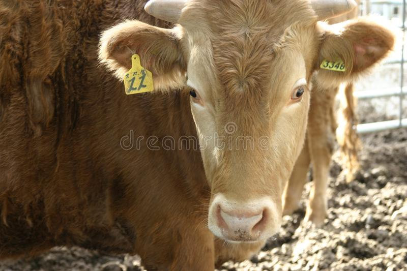 Cattle Like Mammal, Horn, Cow Goat Family, Calf royalty free stock photo