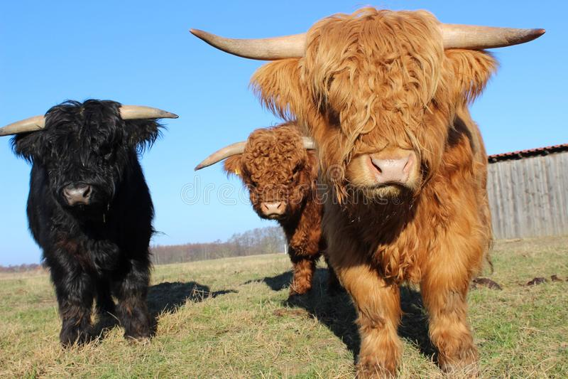 Cattle Like Mammal, Horn, Cow Goat Family, Pasture stock photos