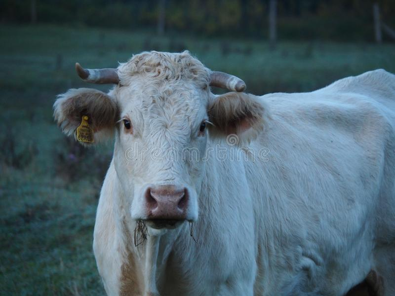 Cattle Like Mammal, Horn, Fauna, Cow Goat Family royalty free stock photos