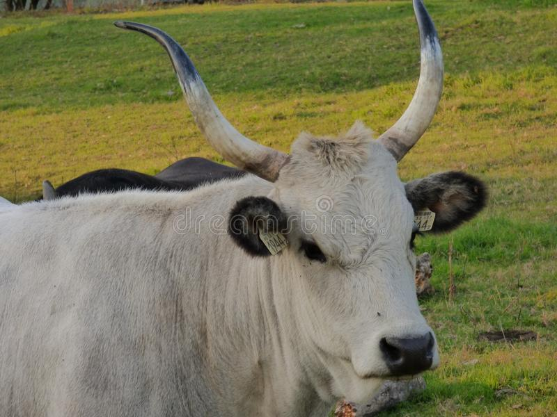 Cattle Like Mammal, Horn, Fauna, Cow Goat Family stock photos