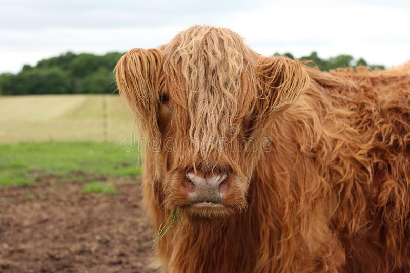 Cattle Like Mammal, Horn, Highland, Cow Goat Family stock photography