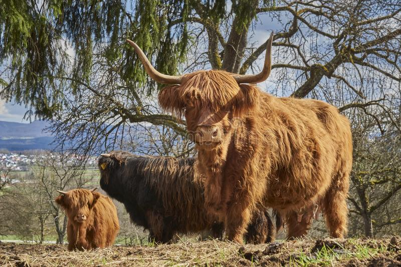 Cattle Like Mammal, Horn, Highland, Wildlife royalty free stock photography