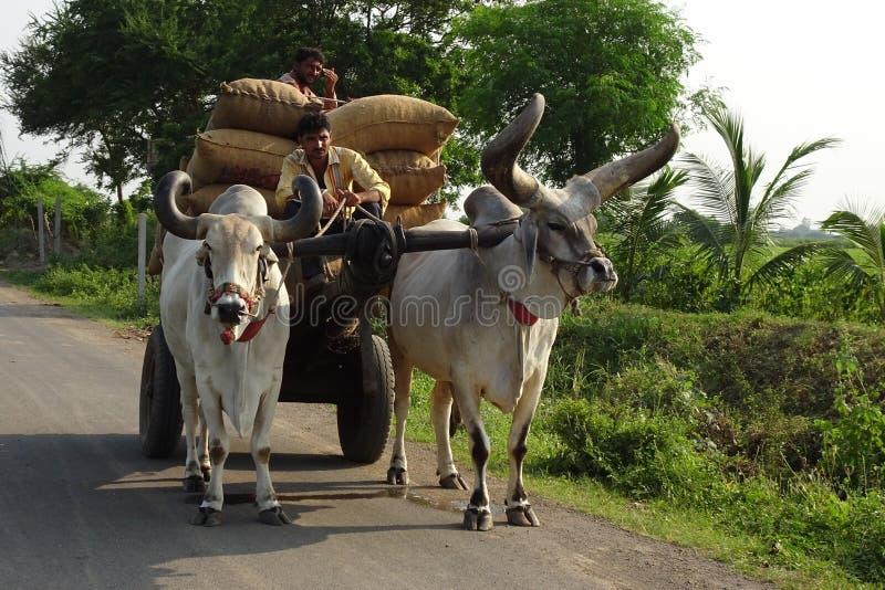 Cattle Like Mammal, Horn, Ox, Cow Goat Family stock photos