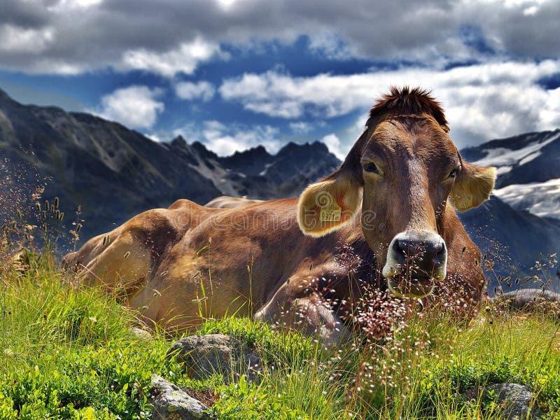 Cattle Like Mammal, Mountainous Landforms, Highland, Mountain stock images