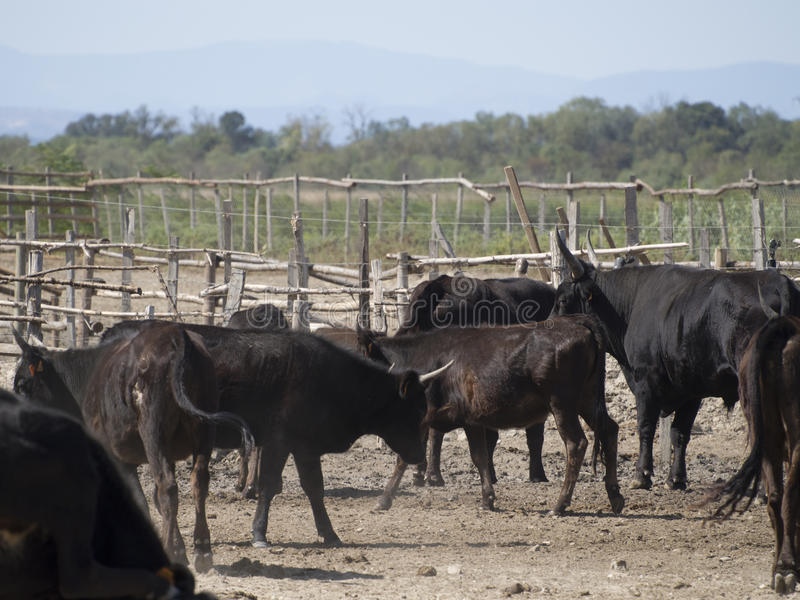 Cattle in a manade, France royalty free stock photography