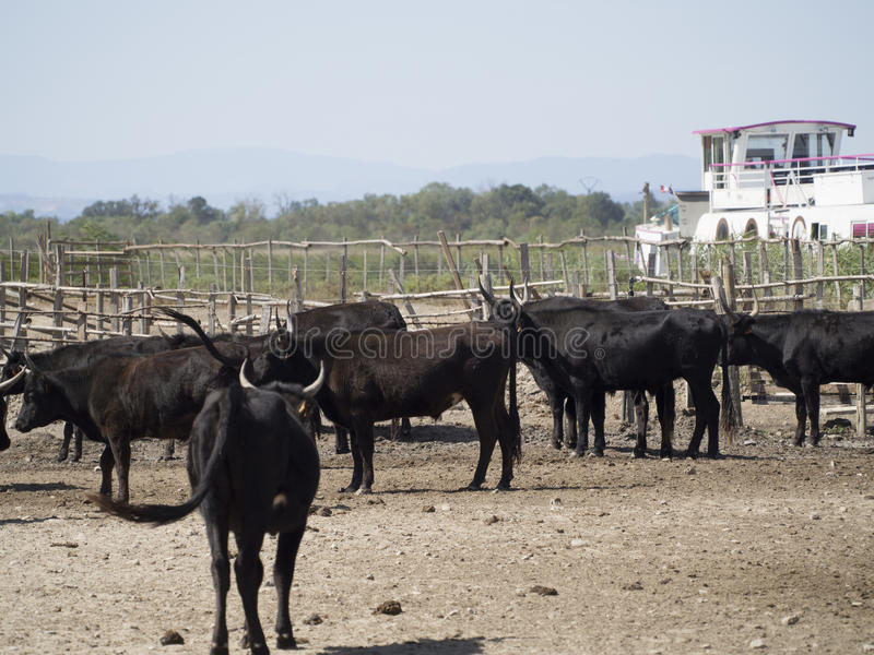 Cattle in a manade, France royalty free stock photos