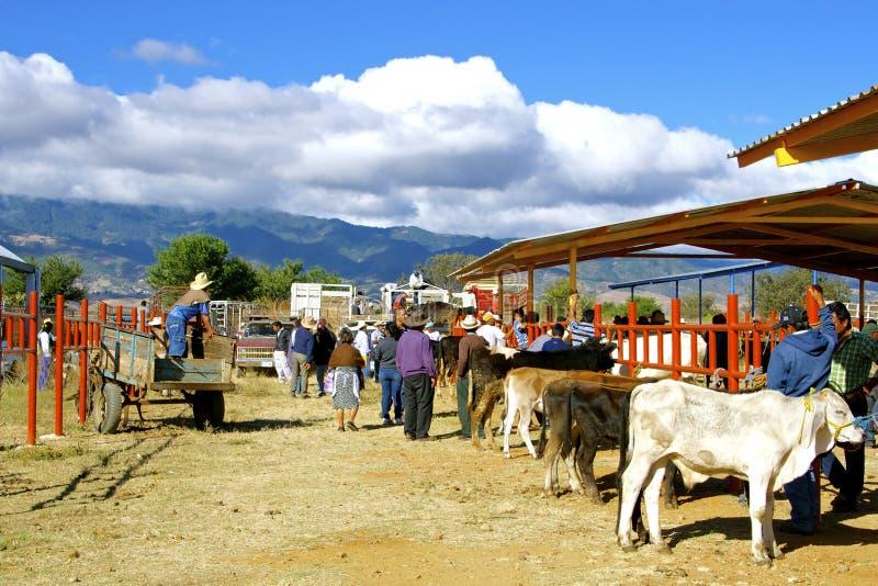 Cattle market, Zaachila. Cattles in Zaachila´s livestock market. Oaxaca, Mexico royalty free stock photo