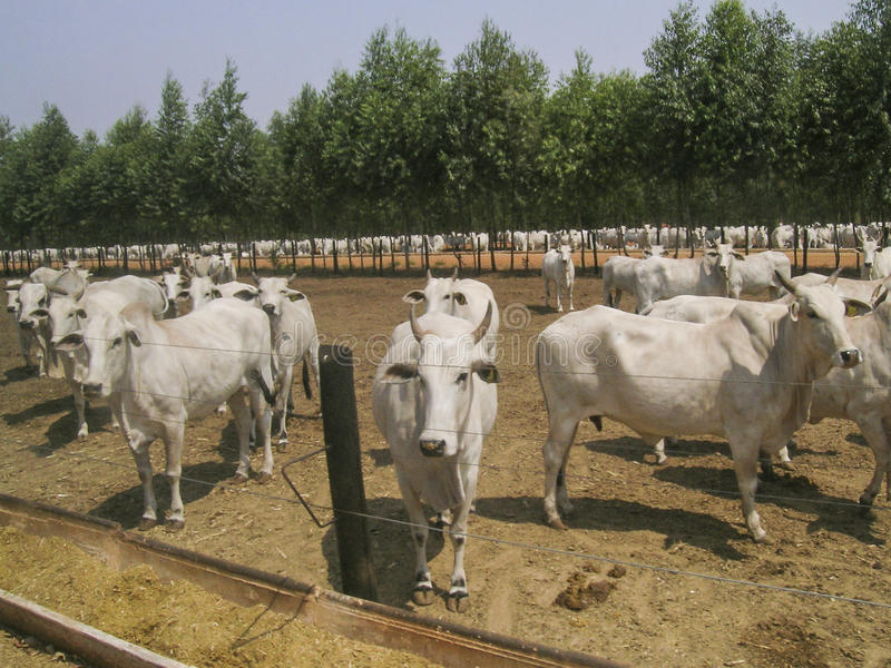 Cattle. MATO GROSSO, BRAZIL - SEPTEMBER 13, 2003: A group of Nelore cattle in confinement stock photography