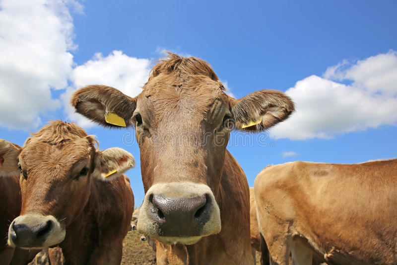 Download Cattle stock photo. Image of grass, livestock, snout - 32047558