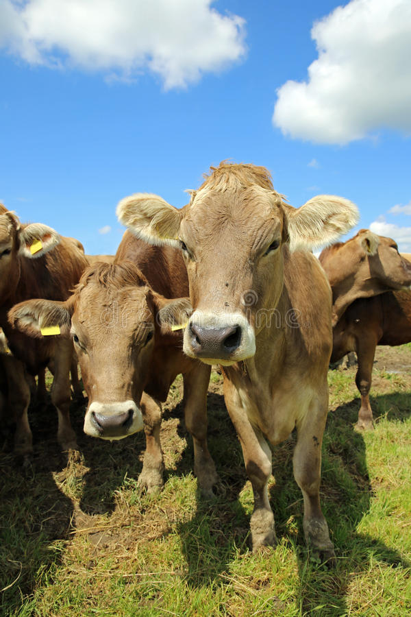 Download Cattle stock photo. Image of sunny, summer, agriculture - 32047634