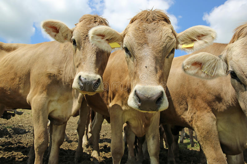Download Cattle stock image. Image of humorous, germany, green - 32047685
