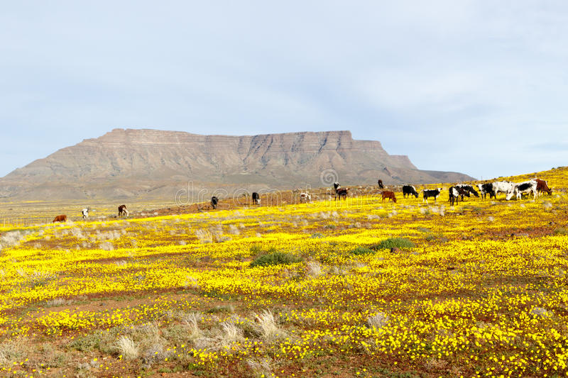 Cattle with a Mountain looking like Table Mountain in the background Tankwa Karoo stock photography