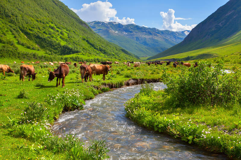 Cattle on a mountain pasture. stock photography