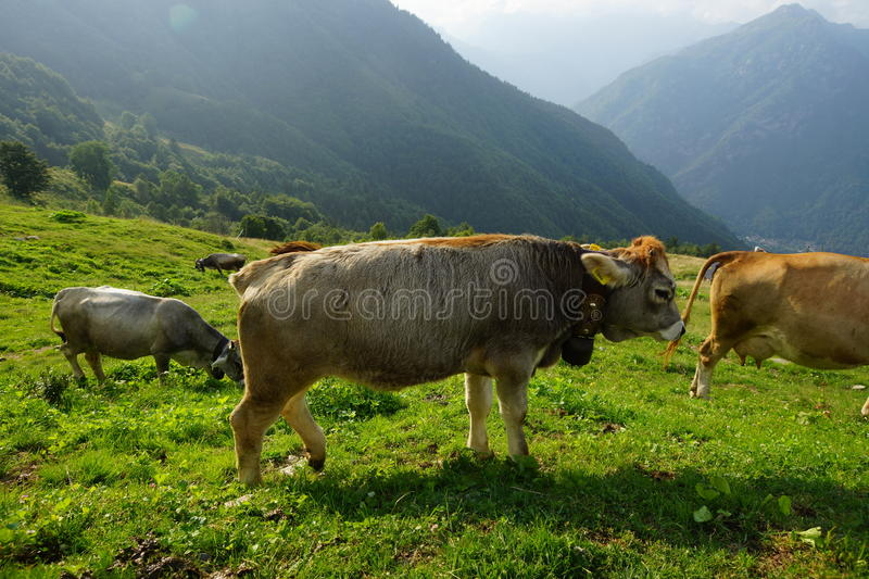 Cattle On Mountain Pastures royalty free stock images