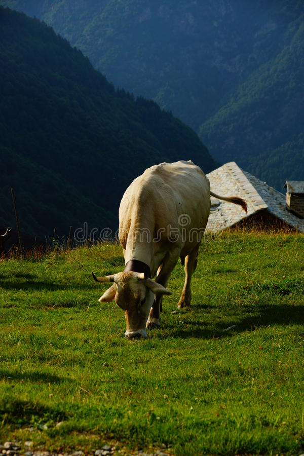Cattle On Mountain Pastures royalty free stock photo